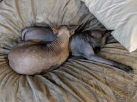 Twigs and Anise napping on a beanbag; Twigs is resting his chin on Anise's back